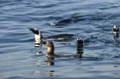 African penguins (spheniscus demersus) — Stock Photo