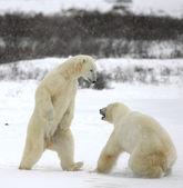 Fight of polar bears. 5 — Stock Photo