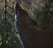 Silhouette of a fox — Stock Photo