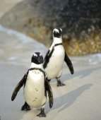 African penguins (spheniscus demersus) — Stock Photo