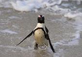 Walking  African penguin — ストック写真