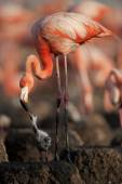 Baby bird of the Caribbean flamingo. — Stock Photo