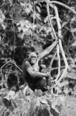 Dwarfish shimpaze - bonobo with a cub — Stock Photo