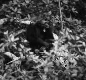 Bonobo a native habitat. — Stock Photo