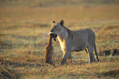 A lioness with new-born antelope prey. — Stock Photo