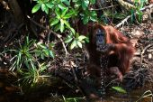 The orangutan drinks water. — Stock Photo