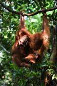 Baby orangutan (Pongo pygmaeus) play. — Stock Photo