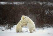 Pelea de osos polares. — Foto de Stock