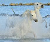 Herd of white horses running through water — Stock Photo