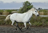 Running White horse of Camargue — Stock Photo