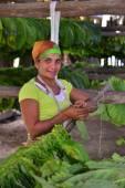 Unidentified tobacco farmer prepares leaves — Stock Photo