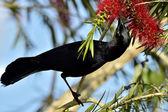 Cuban Blackbird (Dives atroviolaceus) — Stock Photo