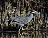 The yellow-crowned night heron — Stockfoto