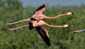 Flying Caribbean flamingos — Stock Photo