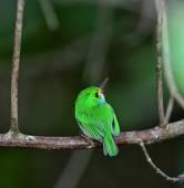 Cuban Tody, Todus multicolor, — Stock Photo
