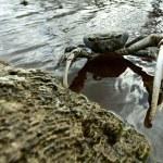 Blue Land Crab (Cardisoma Guanhumi) — Stock Photo #73706591