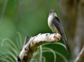 Cuban Pewee (Contopus caribaeus) — Stock Photo