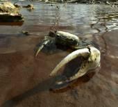 Blue Land Crab (Cardisoma Guanhumi) — Стоковое фото