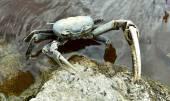 Blue Land Crab (Cardisoma Guanhumi) — Stock Photo