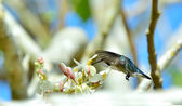 Cuban Bee Hummingbird (Mellisuga helenae) — Stock Photo