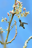 Cuban Bee Hummingbird (Mellisuga helenae) — Stock Photo