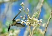 Cuban Emerald Hummingbird in flight — Stock Photo