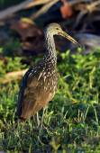 The limpkin (Aramus guarauna) — Stock Photo