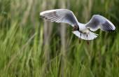 Adult black-headed gull in flight, — Stock Photo