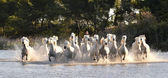 Herd of White Horses Running — Stock Photo
