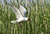 Black-headed Gull (Larus ridibundus) in flight. — Stock Photo