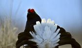 Portrait of a Gorgeous lekking black grouse — 图库照片