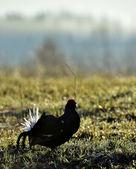 Portrait of a Gorgeous lekking black grouse — Stock Photo