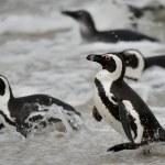 Постер, плакат: African penguin