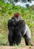 Portrait of a western lowland gorilla (Gorilla gorilla gorilla) close up — Stock Photo