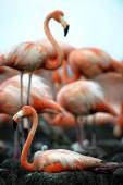 Colony of Great Flamingo — Stock Photo