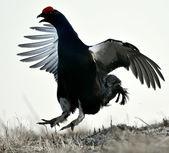 Gorgeous lekking black grouse — Stock Photo