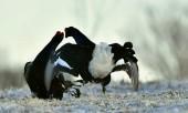 Fighting Black Grouses — Stock Photo