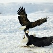 Постер, плакат: Bald Eagles fighting for fish