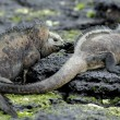 Постер, плакат: Marine Iguanas fighting on the rocks on the black stiffened lava