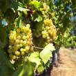 White wine grapes — Stock Photo #72100739