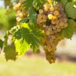 White wine grapes — Stock Photo #72100457