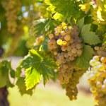 White wine grapes — Stock Photo #72100501