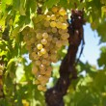 White wine grapes — Stock Photo #72100521
