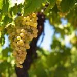 White wine grapes — Stock Photo #72100581