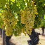 White wine grapes — Stock Photo #72100603