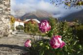 Rose garden in Azerbaijan — Stock Photo
