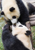 Pandas — Photo