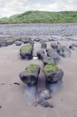 Green slimey mud banks at Beal beach — Stok fotoğraf
