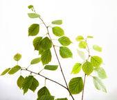 Birch twig — Stock Photo