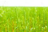 Wheat — Stock Photo